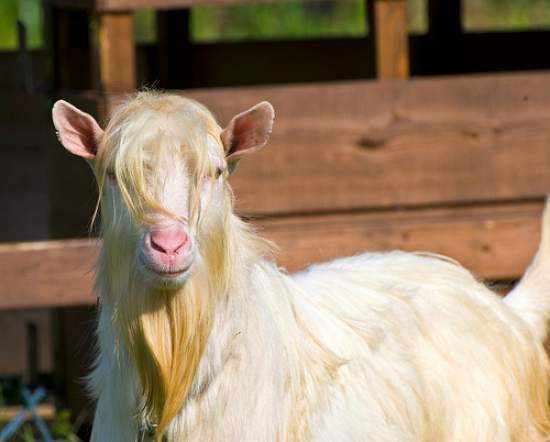 billy-goat How to Grow, Trim and Maintain a Goatee Beard Like a Pro