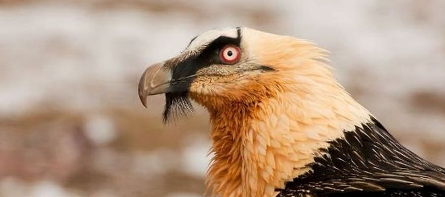 bearded-vulture 10 Strange Animals With A Beard - Unbelievable