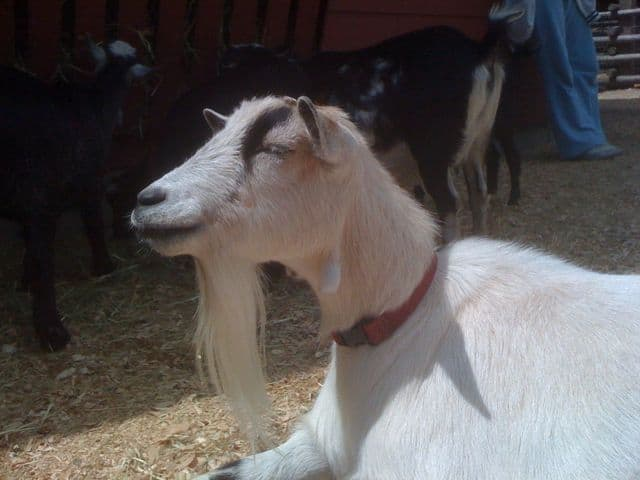 goat with a gaotee