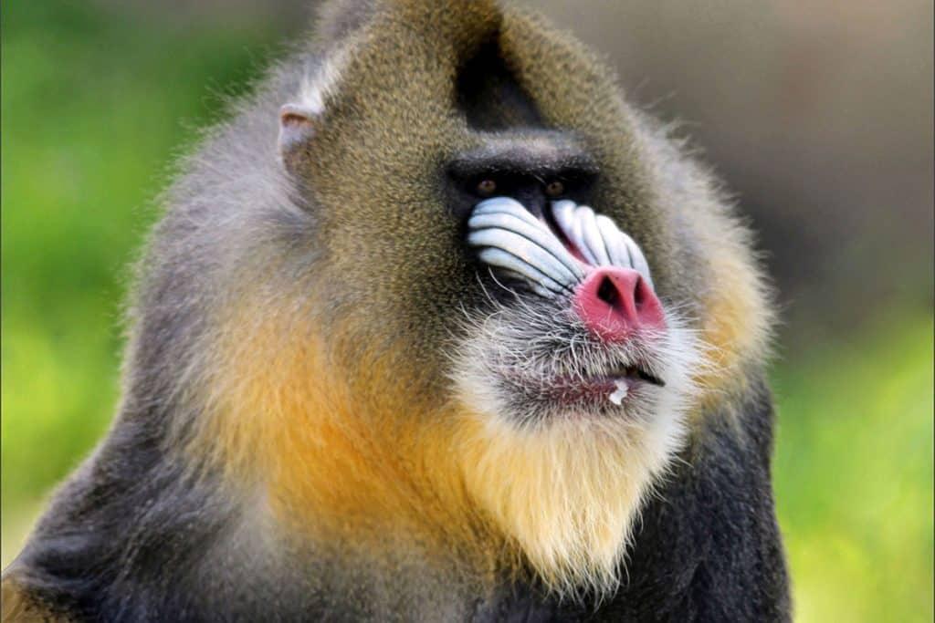 Animal with beard